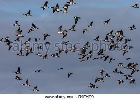 Barnacle geese (Branta leucopsis) in flight, Caerlaverock WWT reserve, Dumfries & Galloway, Scotland, - Stock Image