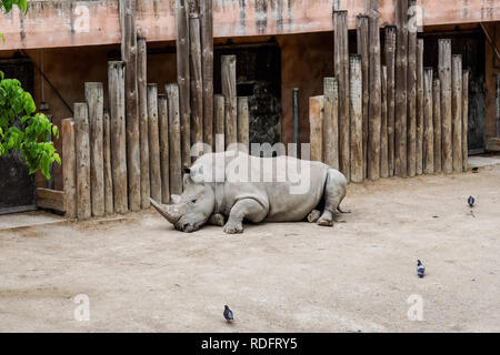 The white rhinoceros at Lisbon Zoo, Portugal - Stock Image