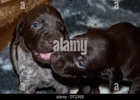 Three-week old German Short-haired Pointer Puppies play-fighting - Stock Image