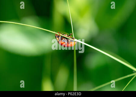 Ladybird crawling along a thing blade of grass, Epping, Essex, UK - Stock Image