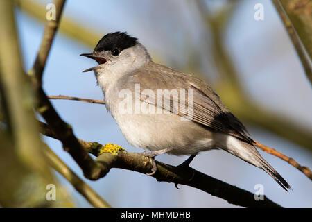 singing male Blackcap (Sylvia atricapilla) - Stock Image
