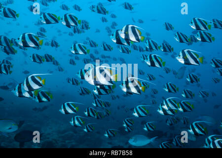 Shoal of Pennant Bannerfish, Heniochus diphreutes, Indian Ocean, Maldives - Stock Image