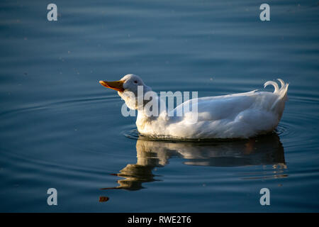 Heavy white ducks, American Pekin Duck also known as Aylesbury Duck shaking his head and feathers - Stock Image