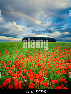 GB - GLOUCESTERSHIRE: Field of poppies in the Cotswolds - Stock Image