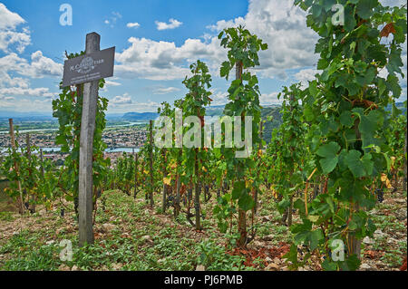 Vineyards in the Rhone valley on the hillside above the River Rhone, Tain L'Hermitage, Drome, Rhone Alps, France - Stock Image