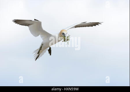 Northern gannet (Morus bassanus) adult in flight with nest material. Great Saltee island, co Wexford, Ireland. April. - Stock Image