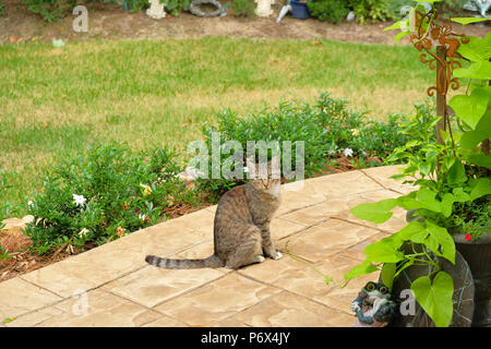 Grey tiger stripe domestic short hair tabby cat outdoors standing on a garden patio. - Stock Image