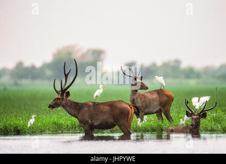 Sambar Deer stags, (Rusa unicolor), in weltands habitat, Keoladeo Ghana National Park, Bharatpur, Rajasthan, India - Stock Image