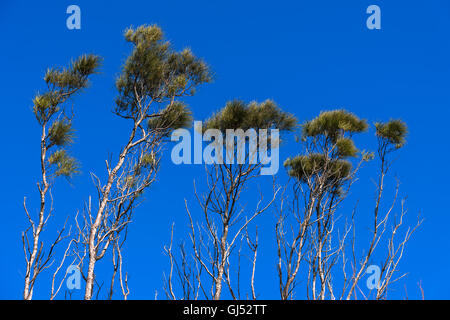 View of trees against a blue sky in Byron Bay. - Stock Image