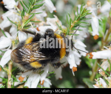 A newly emerged queen white-tailed bumblebee (Bombus lucorum) feeds on nectar from garden heather flowers in March. Bedgebury Forest, Kent, England. U - Stock Image