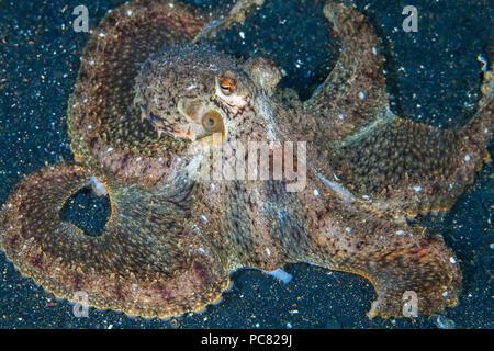 Longarm octopus (Abdopus sp.) on sea floor of Lembeh Straits, Indonesia. - Stock Image