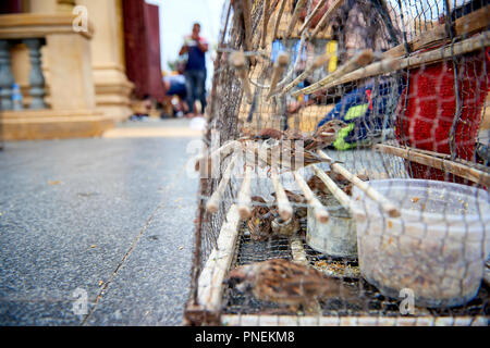 Small sparrows are kept in cages near shrines in Phnom Penh, Cambodia. The birds are captured and sold to the faithful in order to be released in a ri - Stock Image
