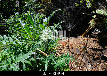 Globe Artichoke (Cynara cardunculus) bush in organic vegetable garden. - Stock Image