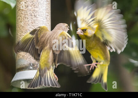 Stirlingshire, Scotland, UK. 27th Mar, 2019. UK weather - greenfinches fighting over food brighten up an otherwise dull day in Stirlingshire Credit: Kay Roxby/Alamy Live News - Stock Image