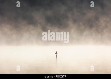 Silhouetted Black-headed gull perched on a post in the middle of a misty lake at dawn - Stock Image