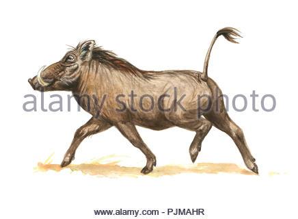 warthog phacochoerus africanus - Stock Image