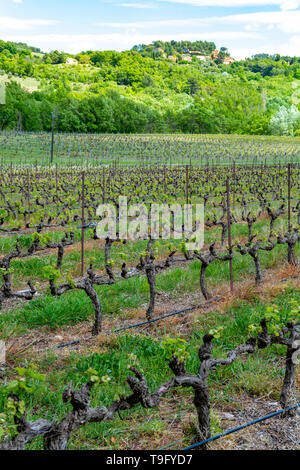 Production of rose, red and white wine in Provence, South of France, landscape with vineyard in early summer - Stock Image