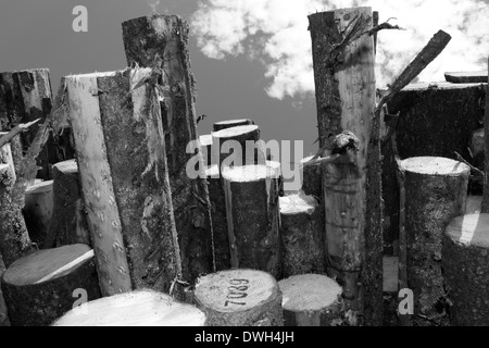 Stacked timber waiting for transport to paper mills. Black and white photograph. - Stock Image
