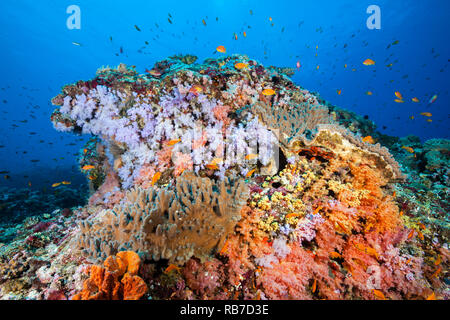 Colored Coral Reef, Indian Ocean, Maldives - Stock Image