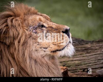 Close up image of a majestic, battle-scarred male lion's face - Stock Image