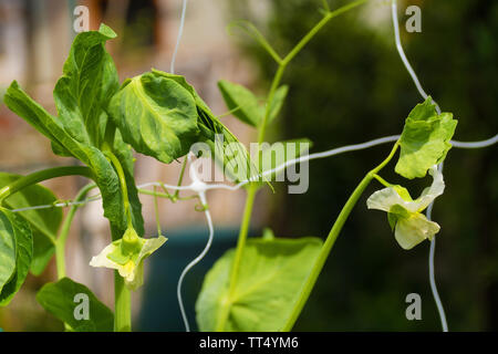 Flowers on a tall telephone pea climbing plant growing in north east Italy - Stock Image