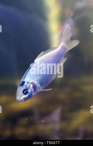 Little freshwater fish that's swimming under clear water. The fish is beautifully pastel colored and shiny. There is blue, purple, pink, white... - Stock Image