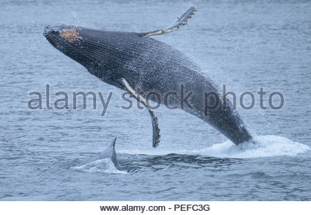 A breaching humpback whale with a calf in Chatham Straight. - Stock Image