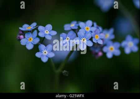 Forget-me-not flowers background. - Stock Image