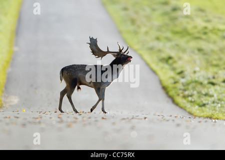 Fallow Deer (Dama dama), Buck Roaring and Crossing Road, Royal Deer Park, Klampenborg, Copenhagen, Sjaelland, Denmark - Stock Image