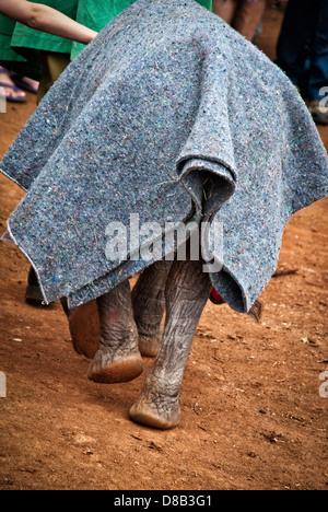 Rear view of an Elephant calf, Loxodonta africana, with a blanket protecting her at the Sheldrick Elephant Orphanage, - Stock Image