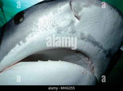 Face of a Tiger Shark (Galeocerdo cuvier). Egypt, Red Sea.    Image digitally altered to remove distracting or to add more interesting background. - Stock Image