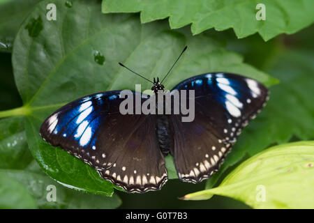 A butterfly resting - Stock Image
