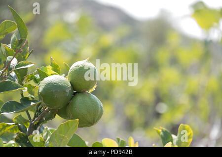 Green lemons on tree in sunshine, Citrus limon (L.) Osbeck, from the flowering plant family Rutaceae, now sold in Tesco, Saronida, Greece. - Stock Image
