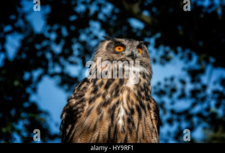European eagle owl - Stock Image