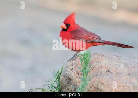 USA, Arizona, Amado. Male northern cardinal perched on rock. Credit as: Wendy Kaveney / Jaynes Gallery / DanitaDelimont.com - Stock Image