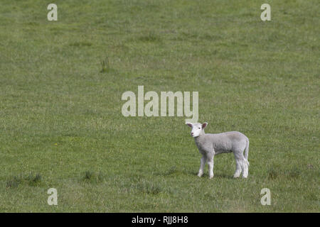 Healthy spring lamb surrounded by abundant copy space in green field.  Location is Bruny Island, Tasmania, Australia. - Stock Image