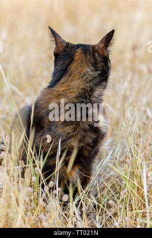 black domestic cat sitting in dried plants and looking back suitable for animal, pet and wildlife themes - Stock Image