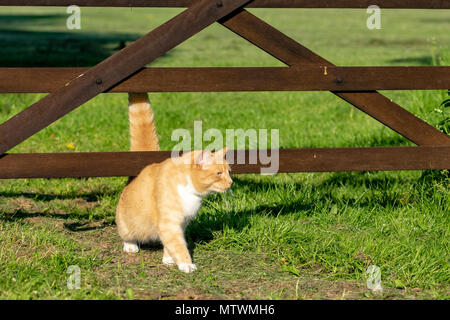 Domestic ginger cat walking under a wooden fence gate - Stock Image