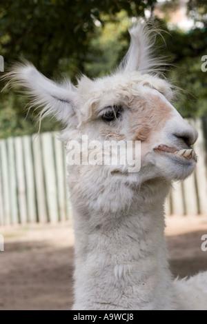 Portrait of a llama with goofy teeth - Stock Image