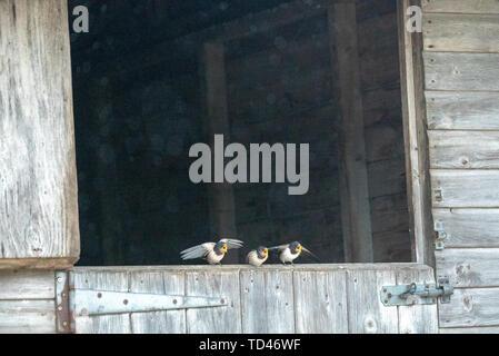 Barn swallow feeding fledgling at Brokenborough, Malmesbury UK - Stock Image