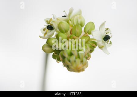 star of bethlehem, arabian star flower, a healing herb - 'comforter and soother of pains and sorrows' Jane - Stock Image