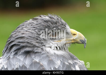In profile closeup of a female Chilean blue eagle (Geranoaetus melanoleucus) a.k.a. Grey or Black chested buzzard - Stock Image