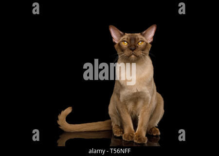 Adorable Chocolate Burmese Cat Sitting on isolated black background with reflection, front view - Stock Image