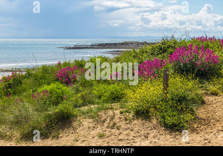 Port Eynon Beach on the Gower peninsula with early summer wild flowers, South Wales - Stock Image