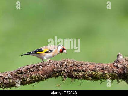 European Goldfinch,  Carduelis carduelis, perching on a mossy branch, against a totally defocussed natural background. - Stock Image