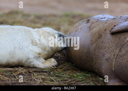 Grey seal pup suckling its mother at Donna Nook nature reserve, Lincolnshire, England - Stock Image