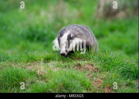 A Badger (Meles meles) foraging for food outside it's sett in the UK - Stock Image