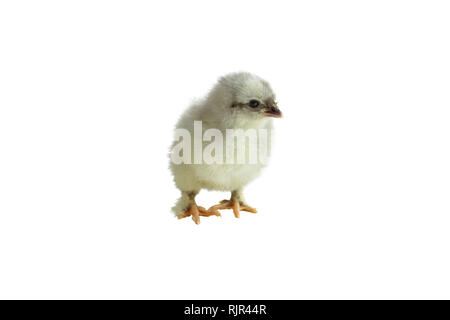 Cute little French Blue Copper Maran chicken / chick isolated over a white background. - Stock Image