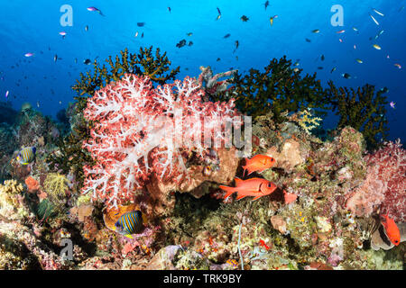 Soft Corals in Coral Reef, Dendronephthya, Lissenung, New Ireland, Papua New Guinea - Stock Image