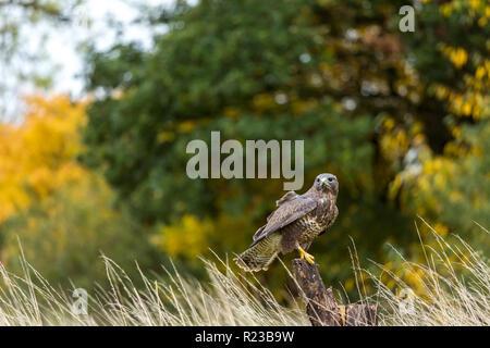 Buzzard perched on tree stump, United Kingdom - Stock Image